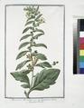 Hyoacyamus albus major - Jusquiamo bianco - Jusquiame blanche. (Russian henbane or White henbane) (NYPL b14444147-1125019).tiff