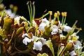 IMG 8228 ลักษณะดอก ย่านดาโอ๊ะ (Golden Leave Bauhinia) Photographed by Peak Hora.jpg