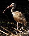 Ibis at Lake Woodruff - Flickr - Andrea Westmoreland.jpg
