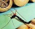 Ichneumon Wasp Ephialtes manifestator female parasitising solitary bee pupae (26154477169).jpg