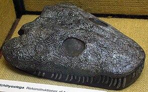 Rekonstruktion des Schädels von Ichthyostega im Geologischen Museum von Kopenhagen