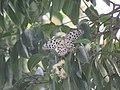Idea malabarica - Malabar Tree-Nymph nectaring on Syzygium hemisphericum at Makutta (5).jpg