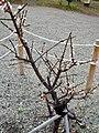 Ieyasubai (Prunus mume) - 2.jpg
