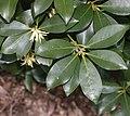 Illicium anisatum (leaf).jpg