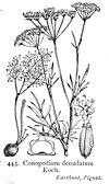 Illustration Conopodium majus British Flora