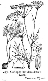 Illustration Conopodium majus British Flora