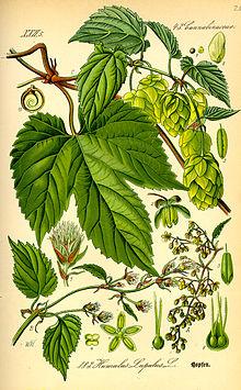 220px Illustration Humulus lupulus0 - CERVEZA TIPOS VARIEDADES