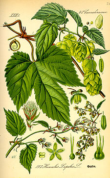 Illustration Humulus lupulus0.jpg