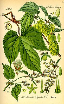 Echter Hopfen (Humulus lupulus), Illustration