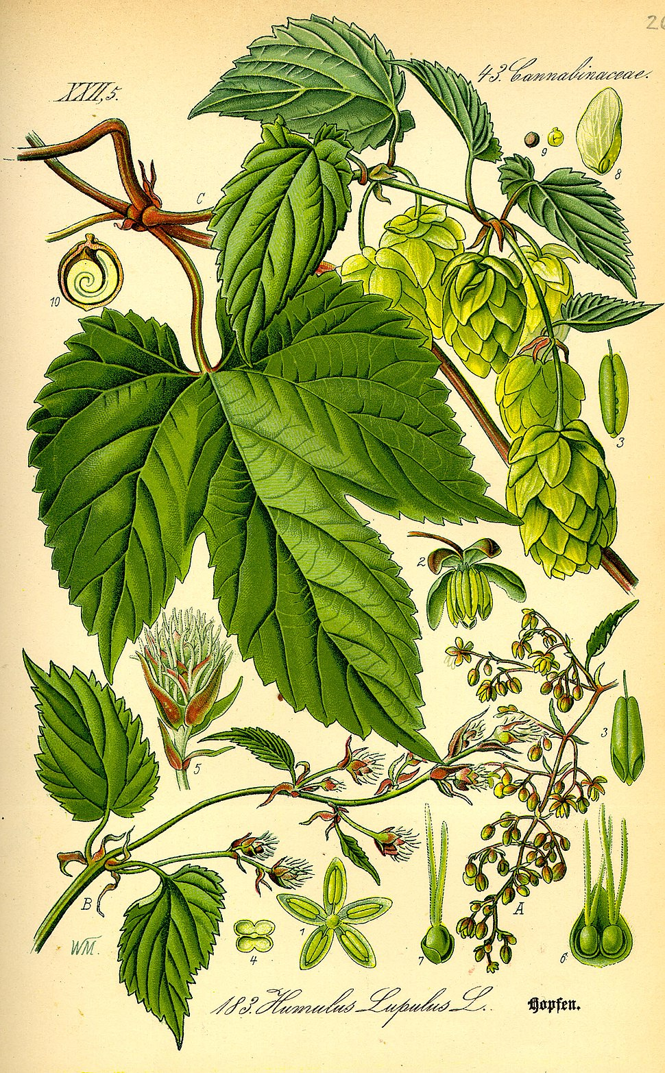Illustration Humulus lupulus0