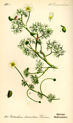 Illustration Ranunculus circinatus0.jpg