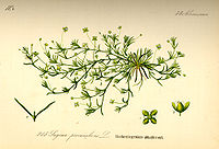Illustration Sagina procumbens0