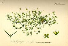 Illustration Sagina procumbens0.jpg