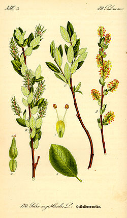 Illustration Salix breviserrata0.jpg