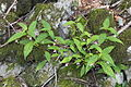 Impatiens hypophylla s2.JPG