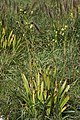 Iris domestica s2.jpg