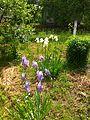 Iris in Ukraine (may 2016) 3.jpg