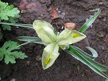 Iris pseudocaucasica.jpg