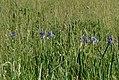 Iris sibirica Anthese.jpg
