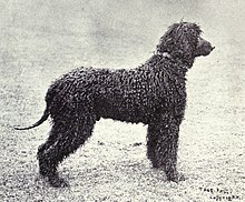 Irish Water Spaniel , Wikipedia