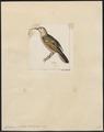 Irrisor sibilator - 1820-1860 - Print - Iconographia Zoologica - Special Collections University of Amsterdam - UBA01 IZ16100037.tif