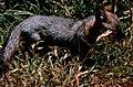 Island fox, oct 1971 (26857936745).jpg