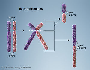 Isochromosome - Isochromosome formation through the misdivision of the centromere. Monocentric isochromosomes contain arms that are mirror images of each other.