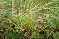 Isolepis setacea kz03.jpg