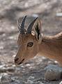 Israel ibex (4264505635).jpg