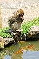 Iwatayama Monkey Park (3812534437).jpg