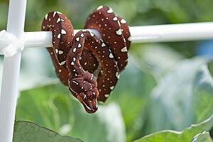 Green tree python - Maroon M. viridis neonate