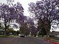 Jacaranda - panoramio.jpg