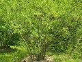 Jasminum humile4.jpg