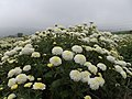 Jiuhu Chrysanthemum Fields 九湖杭菊田 - panoramio.jpg