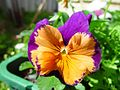 Joker flower in Perth glory colours joondalup.jpg