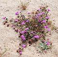 Joshua Tree National Park flowers - Abronia villosa - 3.JPG