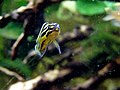 Julidochromis regani (Wroclaw zoo)-1.JPG