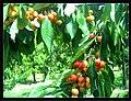 June Flower ^ Cherry Farming Endingen Kaiserstuhl - Master Seasons Rhine Valley Photography 2013 - panoramio (13).jpg