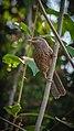 Jungle Babbler 1.jpg