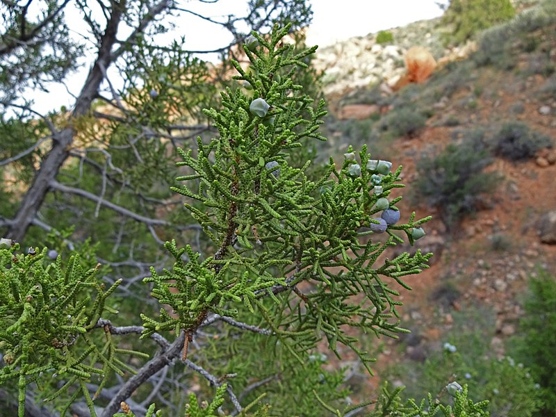 File:Juniperus osteosperma - Flickr - andrey zharkikh.jpg