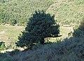 Juniperus oxycedrus 20130810 3.jpg
