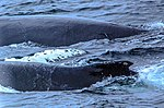 Just as dinner was about to be served we were blessed with a feeding orgy of Humpback whales right in front of the ship, forcing the captain to stop in the middle of the Gerlache strait.spectacular (25907242391).jpg