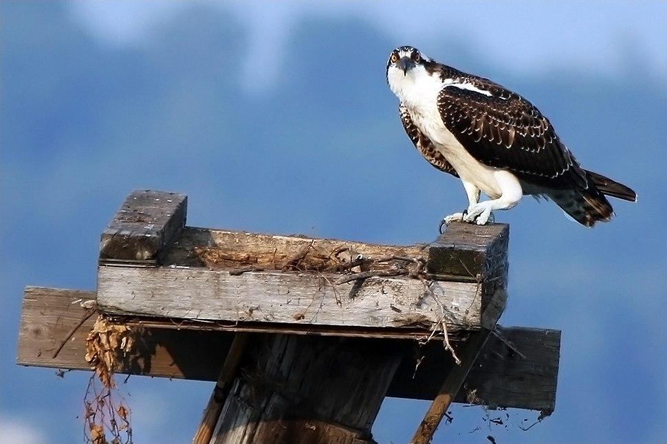 Juvenile osprey on nest