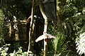 Kaka in Maungatautari Ecological Island.JPG
