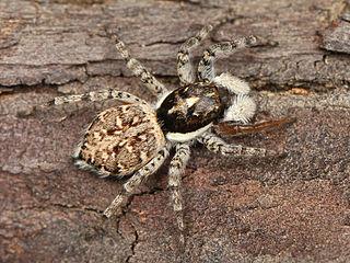 <i>Menemerus</i> Genus of spiders