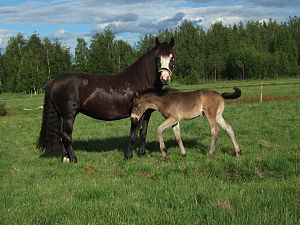 Scandinavian coldblood trotter - Mare and foal
