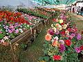 Kalpetta Flower Show.JPG