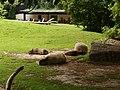 Kapibara - panoramio (1).jpg