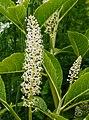 Karmozijnbes (Phytolacca esculenta). Locatie, De Kruidhof Buitenpost 01.jpg