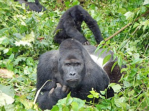 Eastern lowland gorilla - A silverback and child at Kahuzi-Biéga National Park